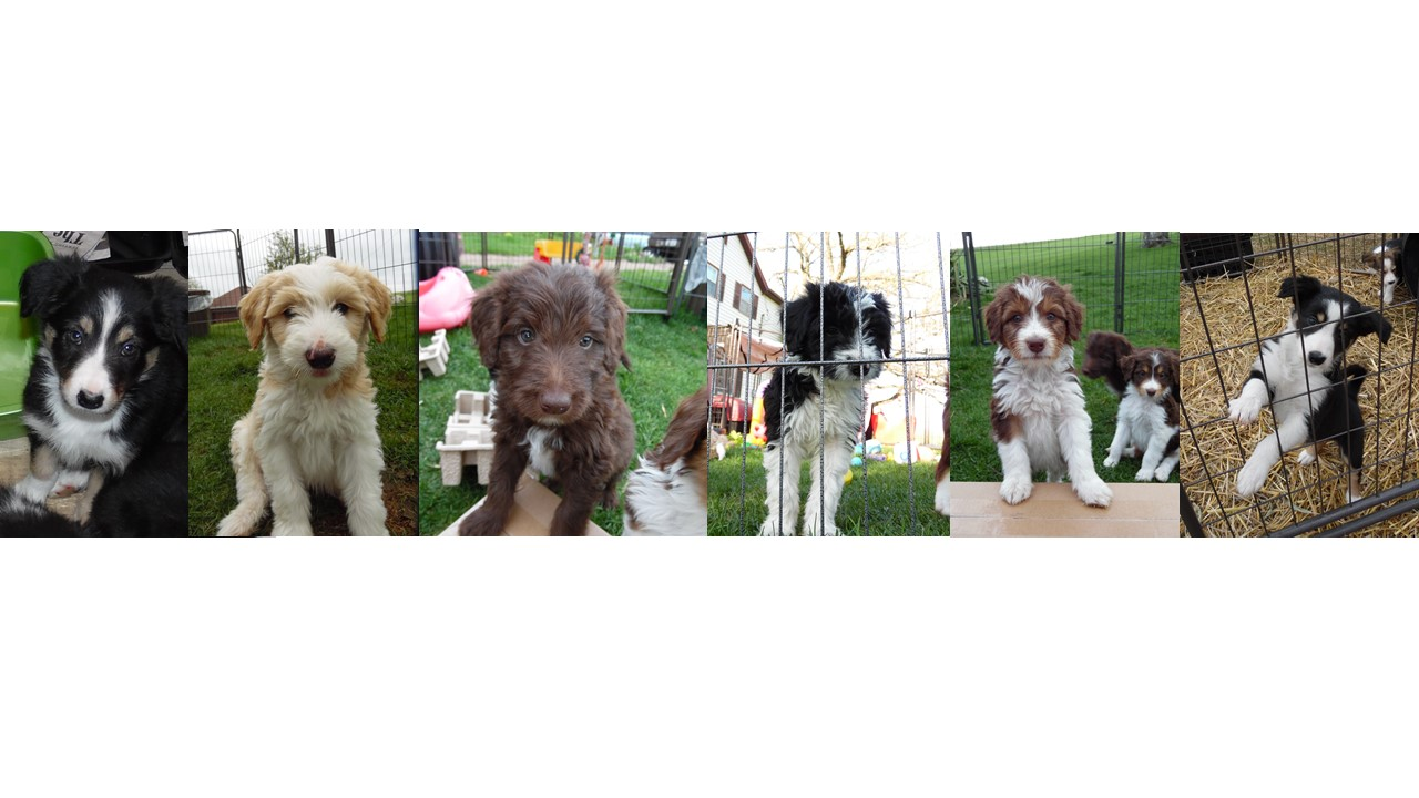 bordoodle  border collie moyen poodle mix  puppies for